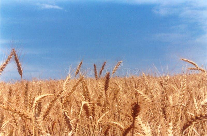 классицистическая пшеница поля стоковая фотография