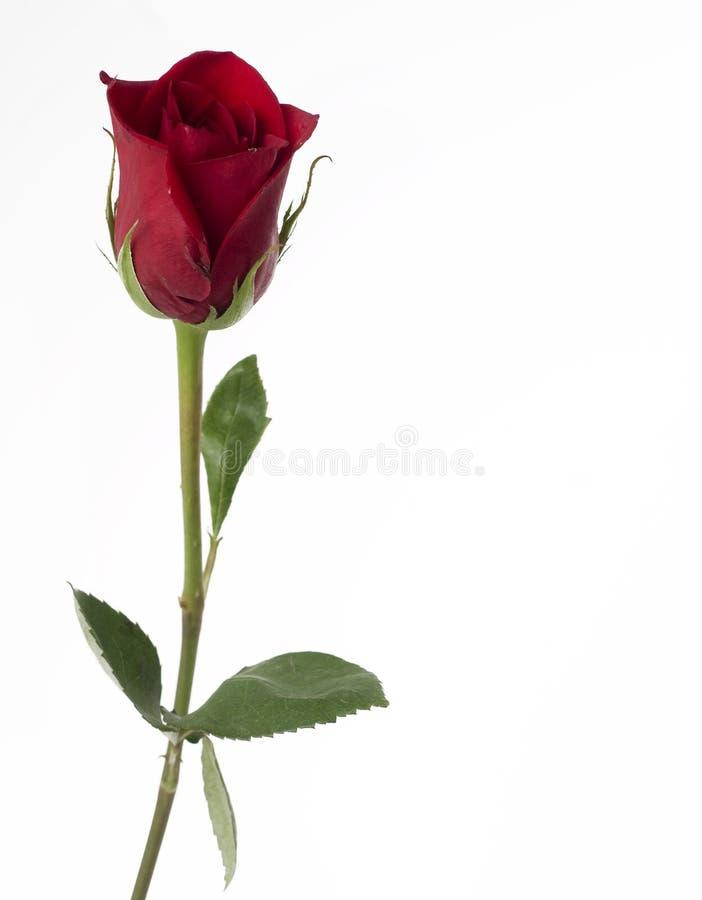 классицистическая роза красного цвета одиночная стоковые фотографии rf