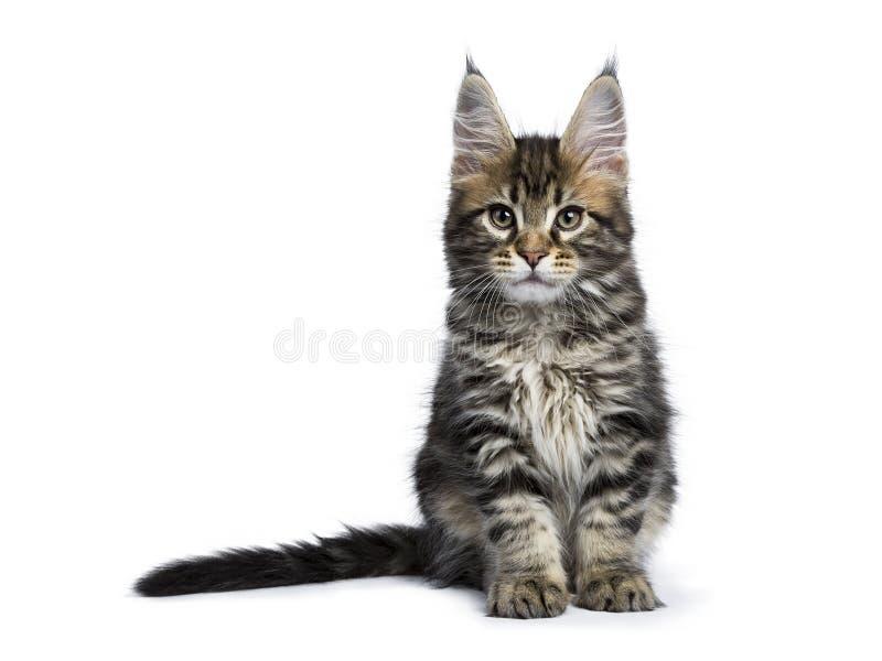 Классический котенок енота Мейна tabby изолированный на белизне стоковые изображения