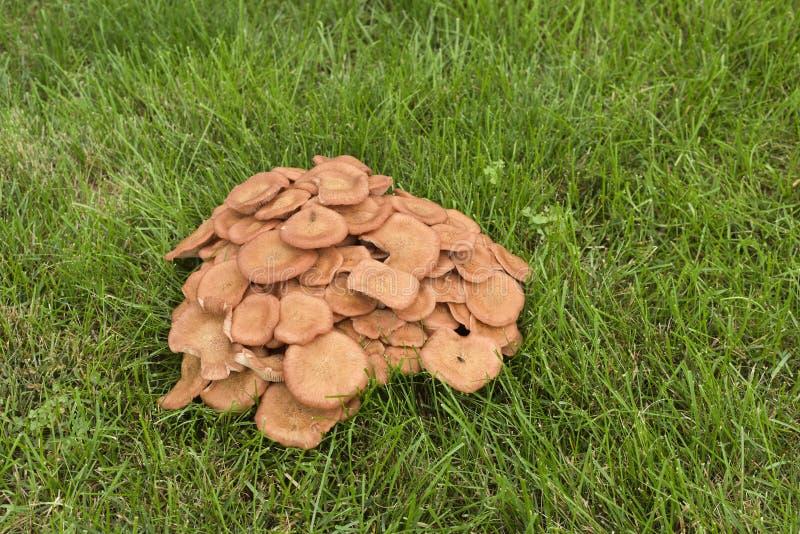 Кластер оранжевых грибов на лужайке стоковые изображения