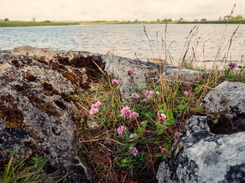 Клевер растет рекой на камне r Тема лета стоковое фото rf