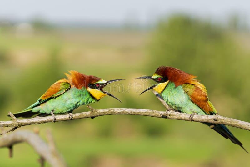 Клекот 2 красивый красочный птиц на одине другого стоковое фото