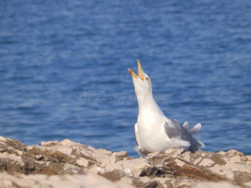 Клекот чайки стоковое изображение rf