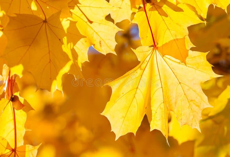 Кленовые листы и конец солнечного света вверх стоковое фото