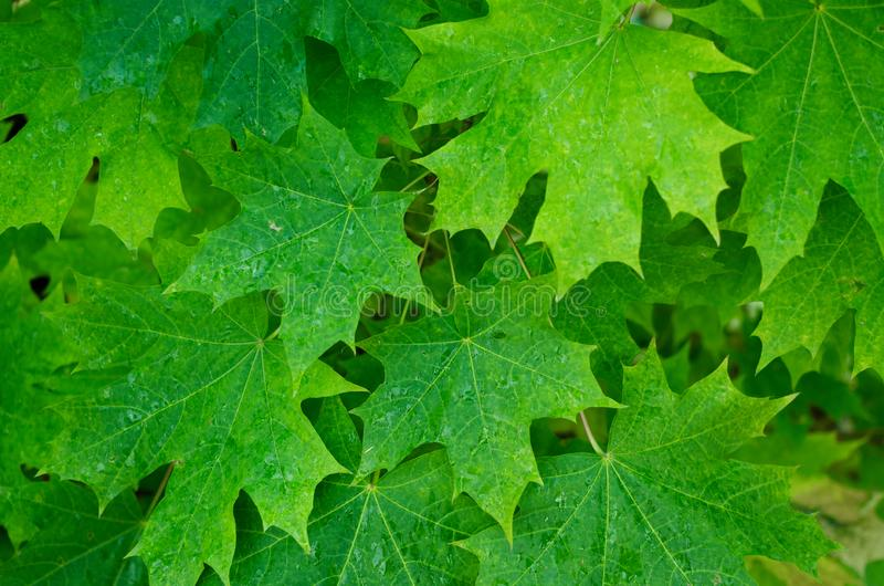 Кленовые листы стоковая фотография rf