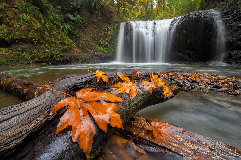 Кленовые листы на журнале дерева на спрятанных падениях в Орегон США стоковая фотография rf