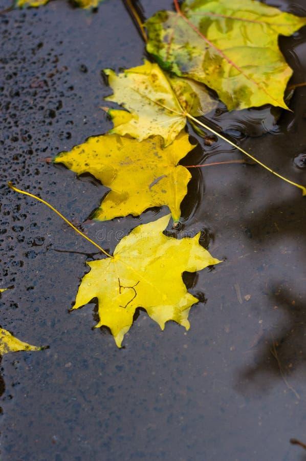 кленовые листы осени желтые в лужице дождя стоковые изображения rf