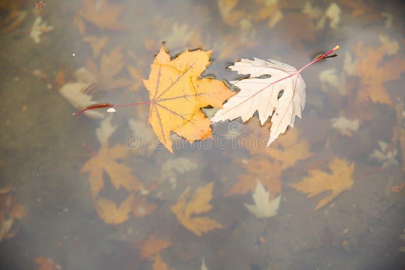 Кленовые листы осени как yin и yang на воде стоковое фото rf