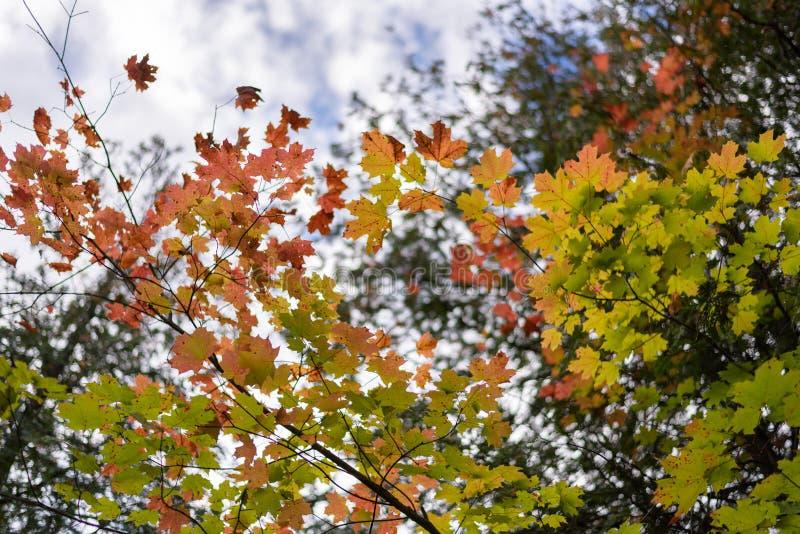 Кленовые листы осени красочные в agai красного цвета, золота, желтых и зеленых стоковые фотографии rf