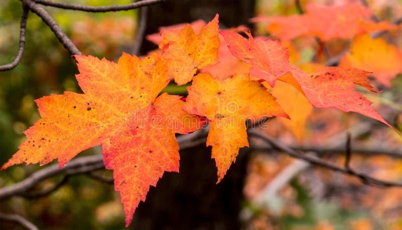 Кленовые листы с расплывчатой предпосылкой леса стоковые фотографии rf