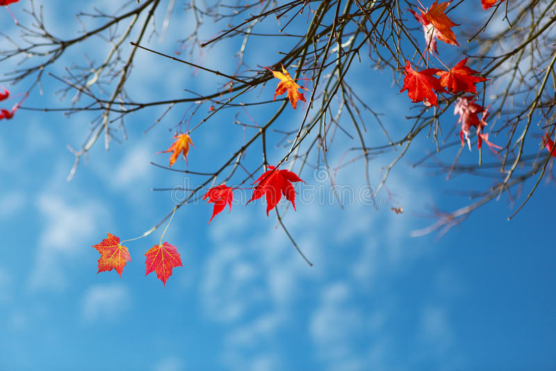 Кленовые листы стоковое изображение rf