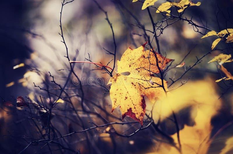 Кленовый лист осени который падал и получил вставленным в ветвях стоковые фотографии rf