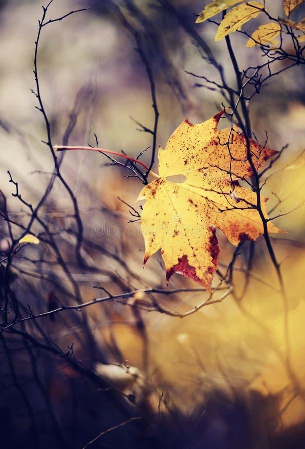 Кленовый лист осени который падал и получил вставленным в ветвях стоковое изображение