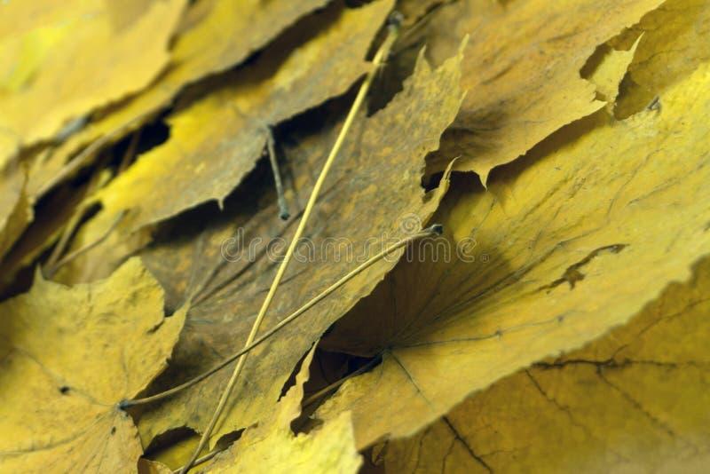 Кленовый лист осени красочный красный японского сада из-под дерева клена стоковое изображение