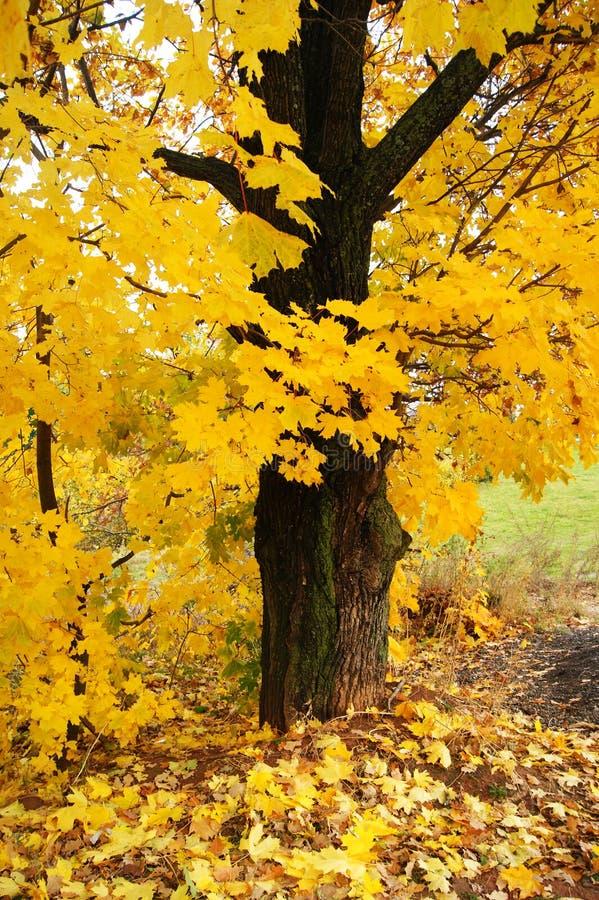 Клен, дерево стоковые фотографии rf