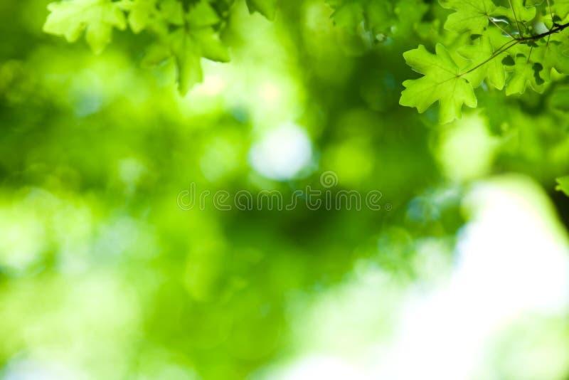 клен листьев предпосылки стоковая фотография rf