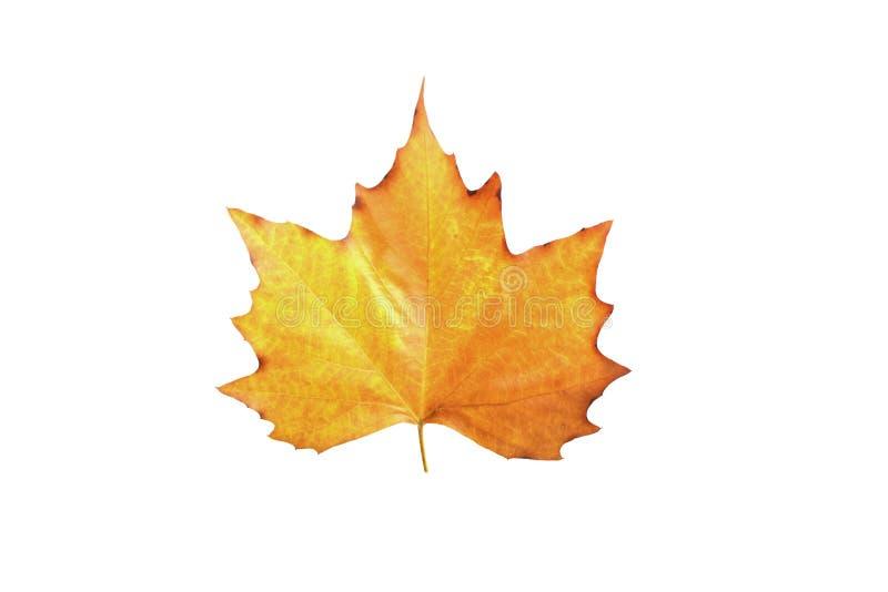 Download клен листьев стоковое изображение. изображение насчитывающей цветасто - 6851659
