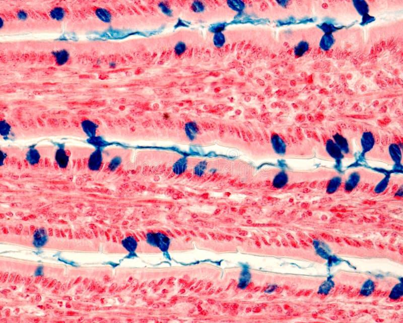 Клетки кубка Кишечный эпителий стоковые изображения rf