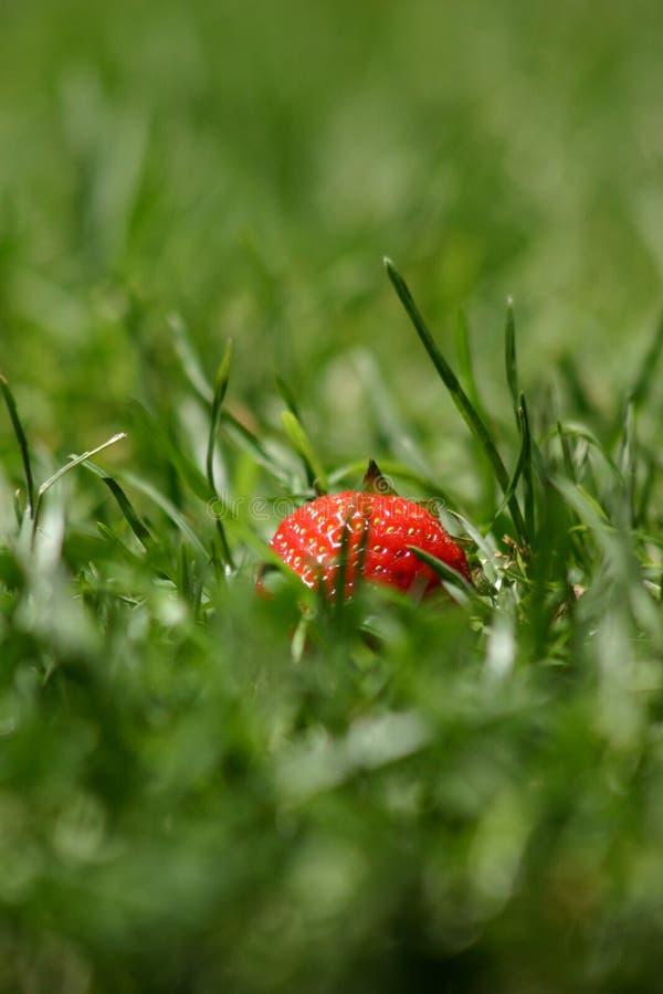 клубника травы Стоковые Изображения RF