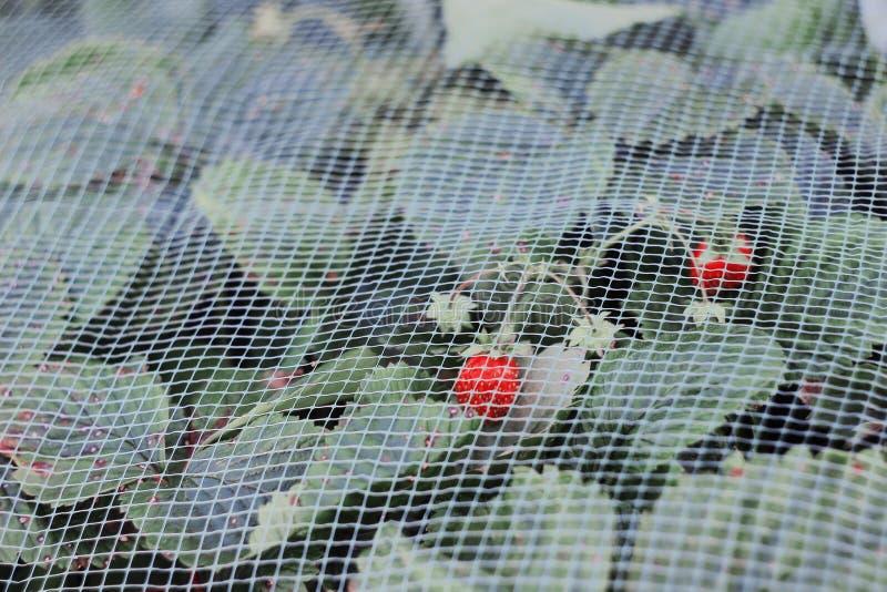 Клубника ягоды лета стоковое фото