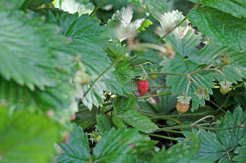 Клубники сада с красными ягодами стоковая фотография