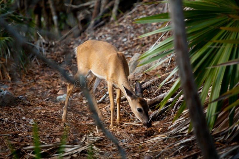 Ключевая лань оленей в ключах Флориды свища в металле стоковое изображение