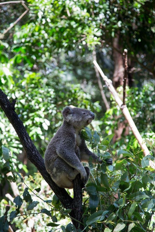 Коала Перчинг на дереве в Австралии стоковые изображения
