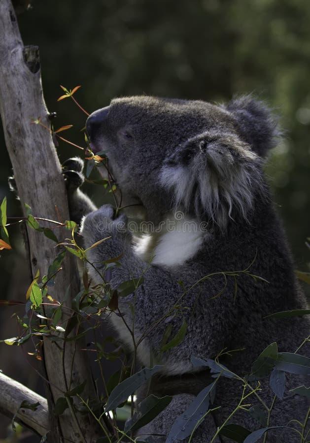Коала сидя в дереве эвкалипта и питаясь листьями стоковые фотографии rf