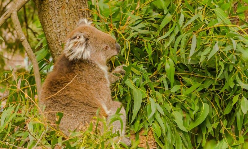 Коала сидя среди листьев евкалипта стоковая фотография