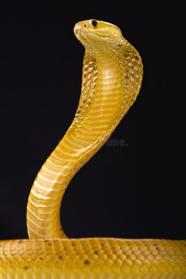 Кобра накидки (nivea кобры) стоковые фото
