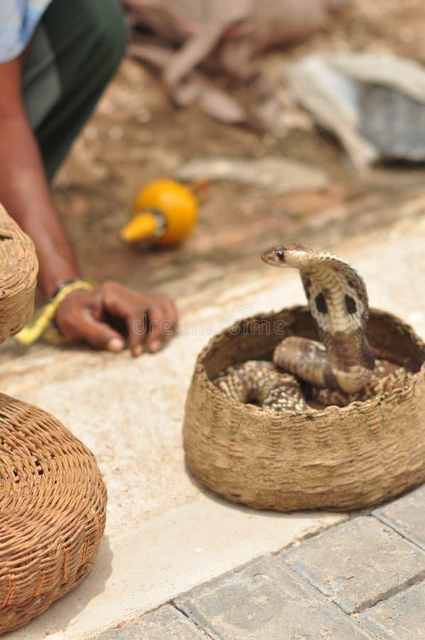 кобра стоковая фотография