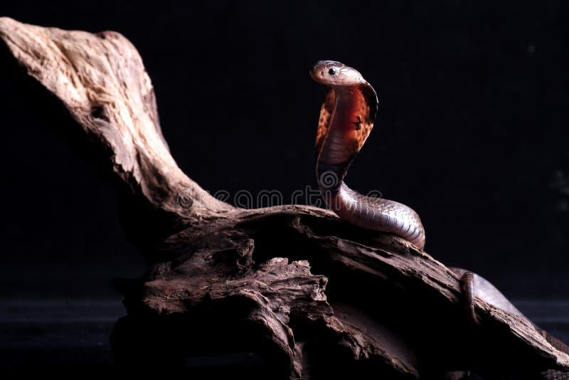 кобра стоковые изображения rf