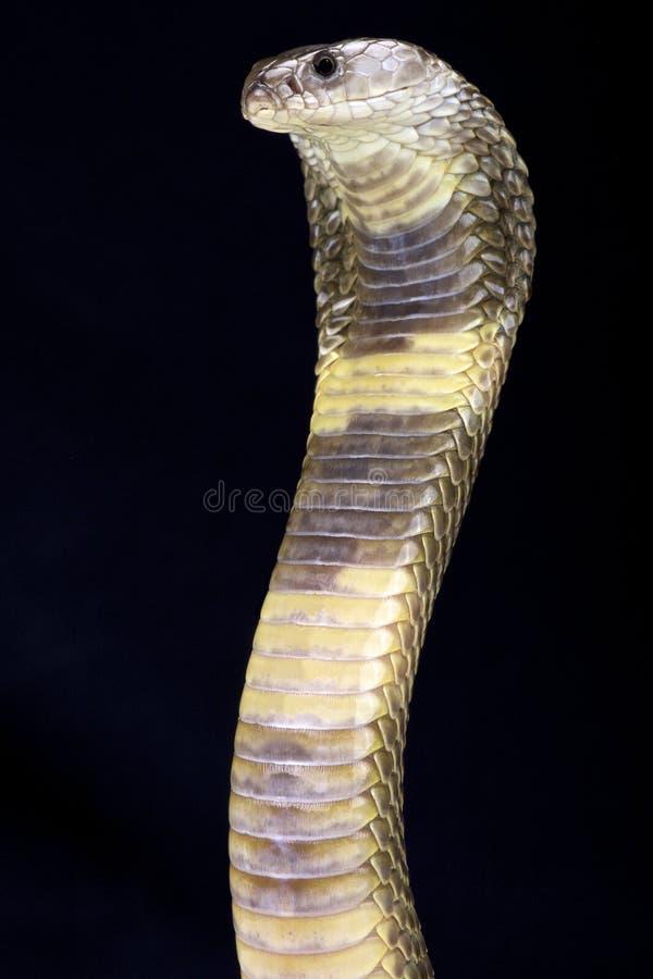 Кобра Oxus (oxiana кобры) стоковая фотография rf