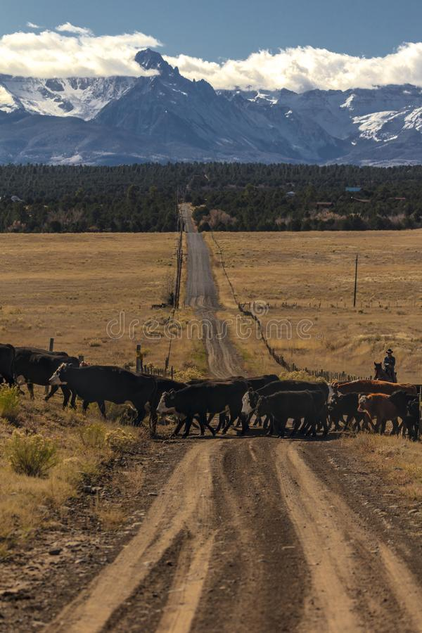 Ковбои на скотинах управляют коровы крестом сбора Ангуса/Hereford и cal стоковые изображения