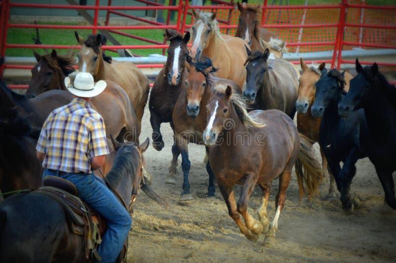 Ковбой округляя вверх по лошадям стоковое фото rf