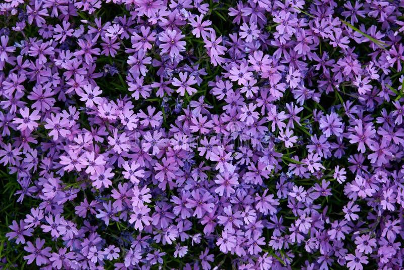 Ковер фиолетовых цветков стоковые фотографии rf
