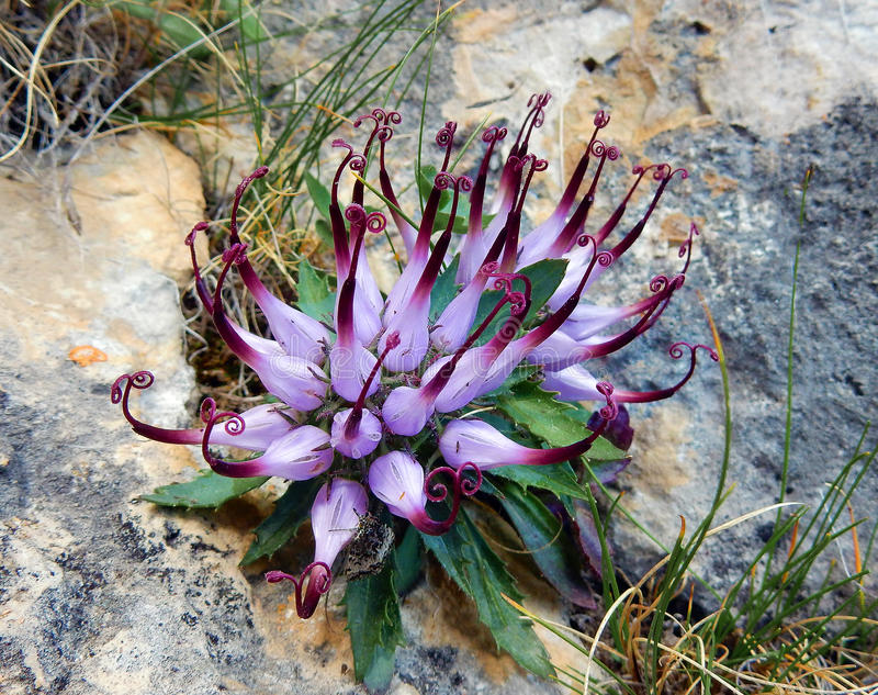 Коготь Devil's comosa Physoplexis, редкий высокогорный цветок стоковые изображения rf