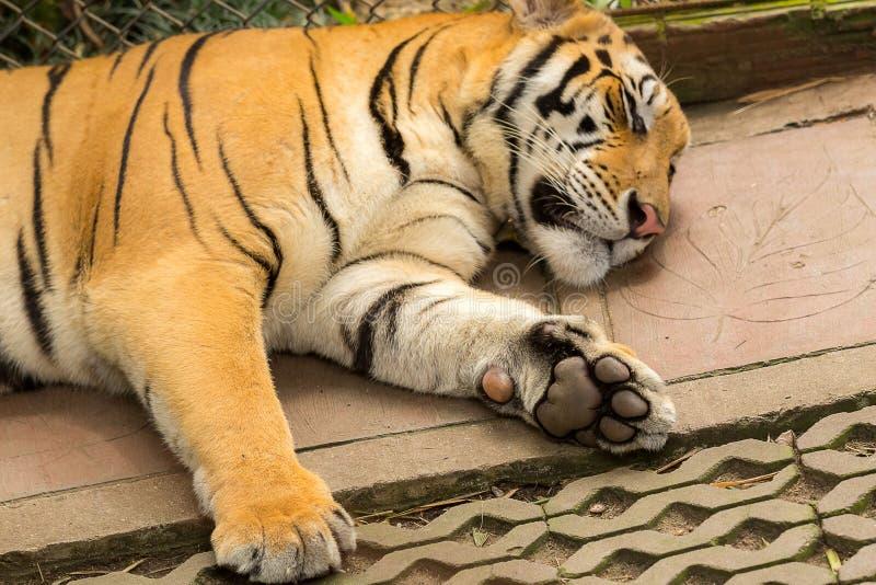 Когти тигра спать стоковое изображение