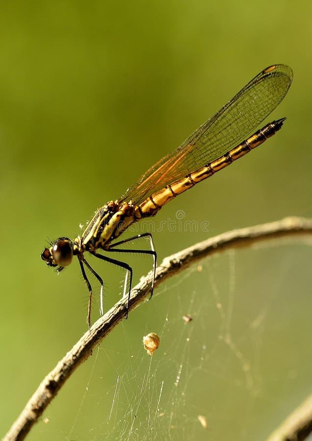 Когда Dragonfly Dakocan греясь в тепле солнца стоковые фотографии rf
