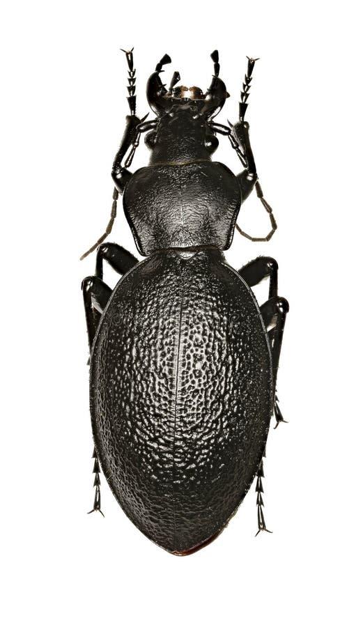 Кожаный жук на белой предпосылке стоковое изображение