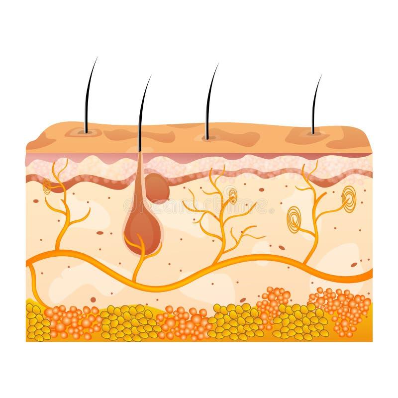 Download кожа клеток иллюстрация штока. иллюстрации насчитывающей волосы - 17617776