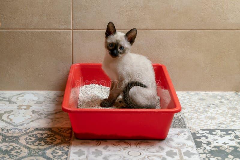 Кожа с разбитым домом сиамским котенком, сидящая в туалете у кошки или ящике для мусора стоковое изображение