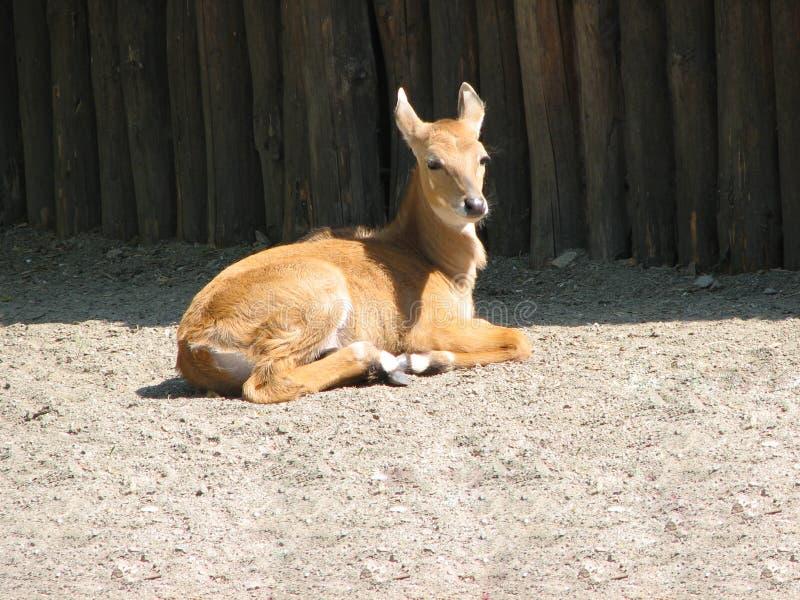 Коза бокового суппорта или горы Фото животного овец стоковое фото