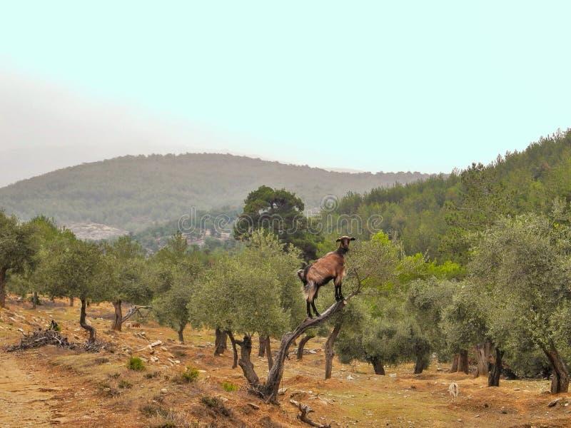 Коза Брауна на диком оливковом дереве ест листья Оливковая роща в горах Thassos стоковая фотография