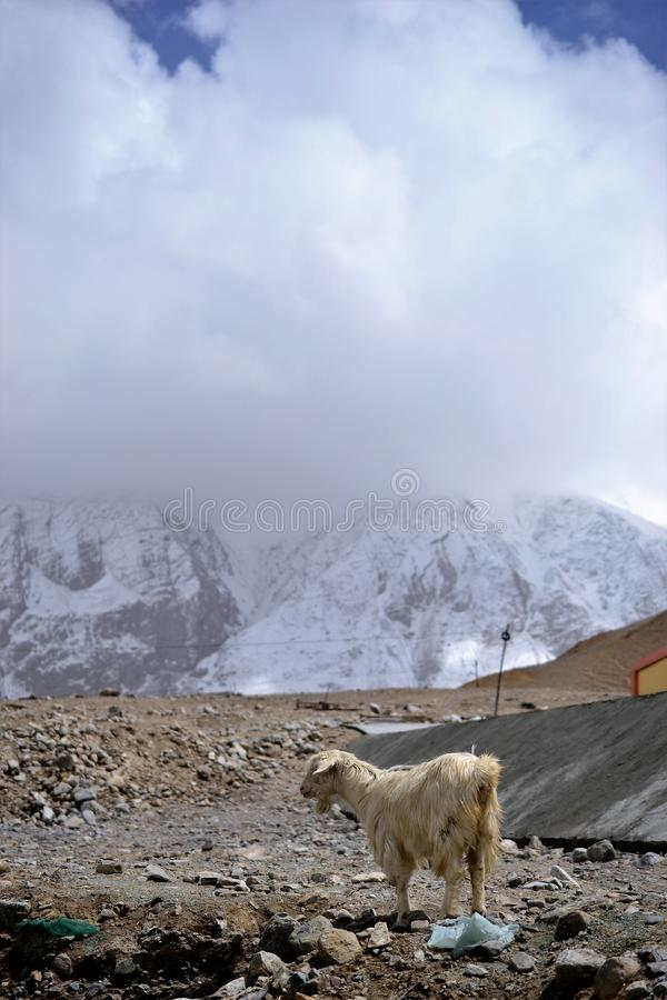 Коза в горах, Кашгар Синьцзян, Китай стоковое фото