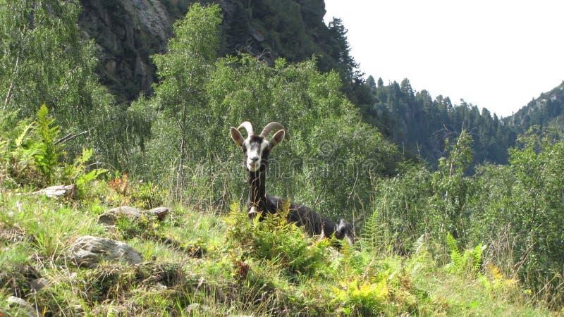 Коза в горе стоковое фото