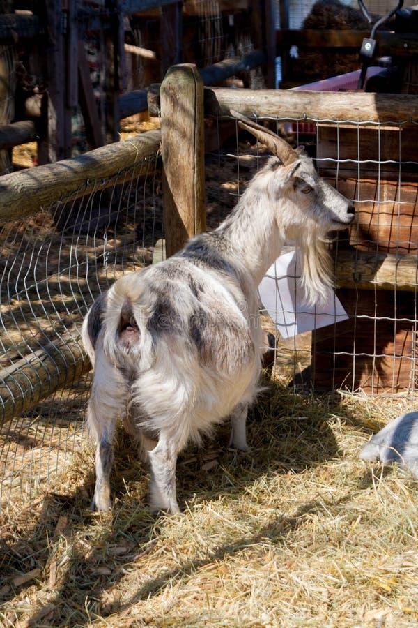 Коза в его загоне с обильной едой стоковые фотографии rf