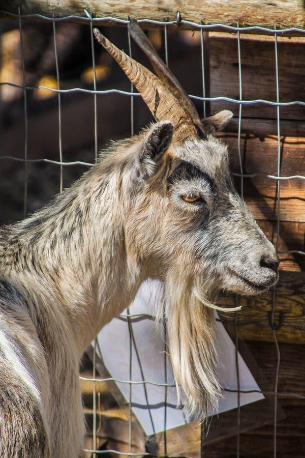 коза в его загоне стоковые фото