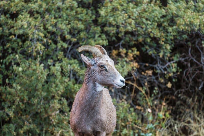 Коза в Канаде стоковые фотографии rf
