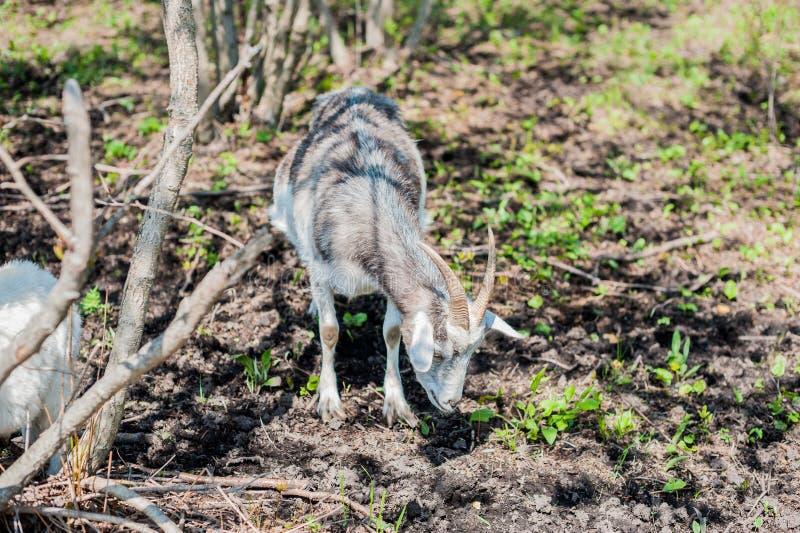 Download Коза в древесине стоковое изображение. изображение насчитывающей environment - 81810117